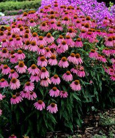 Echinacea angustifolia medicinali Cono Fiore 50 Semi