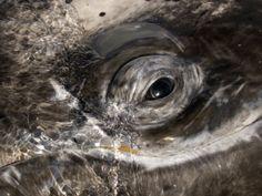 Eye of a Gray Whale, Eschrichtius Robustus, San Ignacio Lagoon, Baja California, Mexico Photographic Print by Gerald & Buff Corsi at Art.com