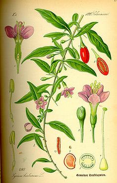 Google Image Result for http://upload.wikimedia.org/wikipedia/commons/thumb/8/83/Illustration_Lycium_barbarum0.jpg/245px-Illustration_Lycium_barbarum0.jpg