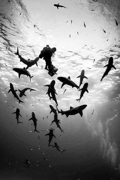 Divers underwater with sharks in the Bahamas