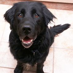 Mr. Magoo is a friendly Newfoundland Labrador cross who loves people and food. Click to read this perfect family dog's adoption profile