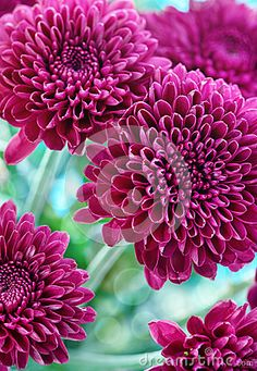 Purple chrysanthemum. Given as a gift, I remembered all of their symbolisms, now reminds me of my baby. They were a lavender purple.