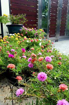 Portulaca Flowers, Portulaca Grandiflora, Love Flowers, Beautiful Flowers, Ice Plant, Good Morning Flowers, Small Backyard Landscaping, Garden Trees, Hanging Plants