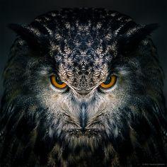 "Just testing a version of Awakening, part of my series ""Birds of prey"". LR & PS Wildfreigehege Hellenthal ( www. Beautiful Owl, Animals Beautiful, Cute Animals, Owl Photos, Owl Pictures, Owl Bird, Pet Birds, Owl Tattoo Drawings, Tattoo Bird"