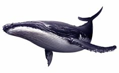 It is of type png. It is related to and tycoon monster corset whales of wildlife hulk adventures marine mammal humpback whale deep killer whale cetacea whale fauna porpoises. Animals Tattoo, Whale Crafts, Great Whale, Whale Painting, Whale Illustration, Whale Nursery, Whale Tattoos, Whale Art, Blue Whale Drawing