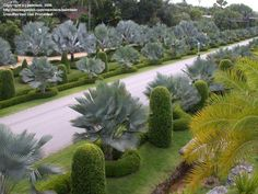 Row of Bismarckias behind the shorter Copernica hospitas in this amazing botanical gardens, Nong Nooch, in Thailand