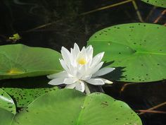 lily in the pond