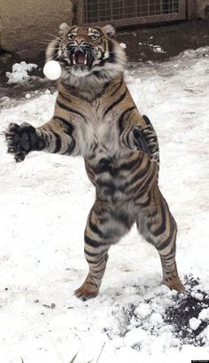 Tiger catches snowball