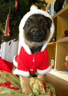 Santa Baby! Who wouldn't want to find a German Shepherd pup under their tree on Christmas?