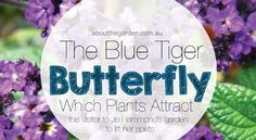 Which Plants Attract Butterflies – The Blue Tiger butterfly (Tirumala hamata) - About The Garden Magazine Plants That Attract Butterflies, Butterfly Plants, Blue Tigers, Autumn Garden, Girl Blog, Attraction, Activities For Kids, Australia, Gardening