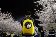"3,275 mentions J'aime, 62 commentaires - Reuters (@reuters) sur Instagram: ""A man carries his pet cat as he walk under the cherry blossoms at Tongji University in Shanghai,…"""