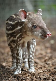 This is Zathras, who is a three-day-old tapir at Chester Zoo.
