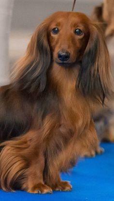 Beautiful long-haired, red & black doxie