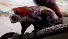 Japanese Giant Flying Squirrel | Red and white giant flying squirrel