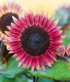 40 pcs/bag mix colors Dwarf sunflower seeds, bonsai flower seeds for home garden potted plant kids gift