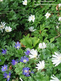 Anemone nemorosa – bosanemoon, houd van een vochtige schaduwrijke plek (ideaal aan de voet van een haag) bloeit april-mei, wit samen met anemone blanda (blauw, wit of roze) mooie combi.