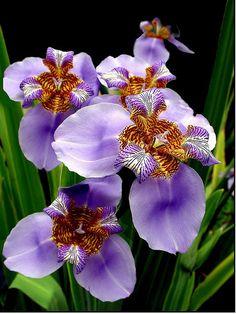 ~~Purple Iris by claudio.marcio2~~