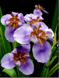 ~~Purple Iris by claudio.marcio2~~