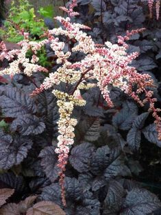 Astilbe Chocolate Shogun This adaptable species is more sun and drought tolerant than typical Astilbe. Handsome, glossy chocolate-bronze foliage is a pleasing backdrop to the pink-blushed flower panicles in early summer. Please note: It can tolerate more
