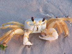 Cute crab, Gulf Shores Alabama.  Few places still have the natural sea grass and live crabs. l Love Gulf Shores, & Orange Beach..