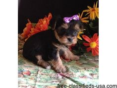 listing CUTE AND ADORABLE HOME TRAINED YORKSHIRE... is published on Free Classifieds USA online Ads - http://free-classifieds-usa.com/for-sale/animals/cute-and-adorable-home-trained-yorkshire-terrier-puppies_i38895