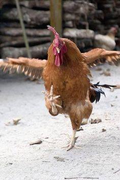 Caw ka caw ka cawwww! Chicken dance