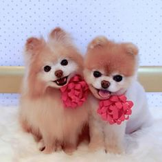 Boo and his buddy. | Community Post: 23 Pomeranians Who Just Want To Make Your Day Brighter
