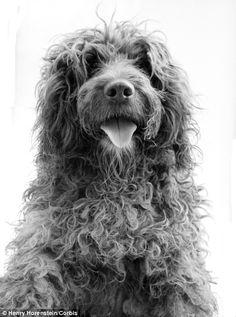 Portuguese Water Dog!!! I want one!!!!!!!!!!!!