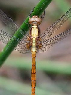 Dragonfly by Orange Leaf, via Flickr