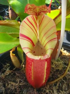 Nepenthes, I think its Orchid?