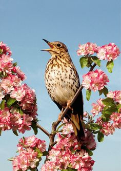 Song Thrush Male in crab apple blosson Beautiful Birds, Beautiful Pictures, Song Thrush, British Garden, British Wildlife, Bird Artwork, Drawing Projects, Bird Pictures, Art Club