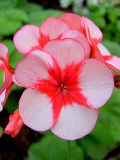~Pelargonium 'Barnstead Beauty' Geranium