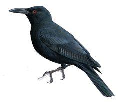 Kosrae Starling (Aplonis corvina) Extinct Birds, Bird Sketch, Australian Birds, Starling, Bird Species, Pet Birds, Illustrations, Sketching, Computers