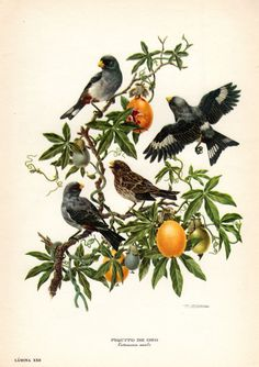 D'Orbigny Seedeater Antique Bird Print Axel Amuchastegui 1959 Vintage Bird Ornithology Nest