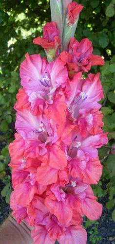 (disambiguation) Gladiolus (from Latin, the diminutive of gladius, a sword) may refer to : Exotic Flowers, Fresh Flowers, Colorful Flowers, Beautiful Flowers, Flower Beds, My Flower, Flower Power, Gladiolus Flower, Garden Pictures