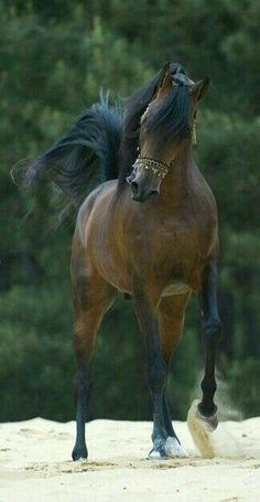 Majestic Arabian