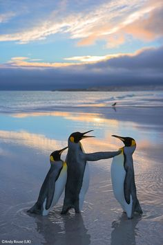 Pinguinos  - Animal -> Por: Angel Catalán Rocher http://pinterest.com/AngelCatalan20/boards/ <- Sígueme!