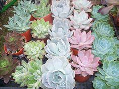 Succulents - where to buy