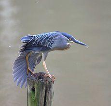 La garcita azulada o garcita estriada (Butorides striata), es una especie de ave pelecaniforme de la familia Ardeidae1 2 que habita en América, Asia, África y Oceanía. Se la puede encontrar en las proximidades de agua dulce, salobre o salada. En América también se la llama chicuaco cuello gris.