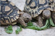 my Leopard tortoise (Stigmochelys pardalis) Karl & Anne :-)