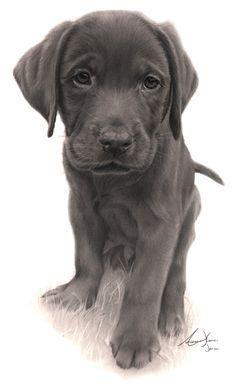 Commission - Labrador Puppy by Captured-In-Pencil.deviantart.com on @deviantART