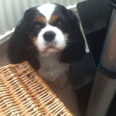 Name: Holly, Breed: King Charles Cavelier