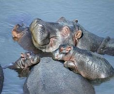 Hippo Family Snuggle Time (Awww it looks like they are all smiling too)