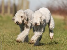 BEDLINGTON TERRIER The closest thing to pet lambs, next to having pet lambs