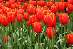 yellow-tipped red tulips