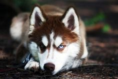 I share with you beautiful siberian husky in this photo gallery. Siberian husky my favorite type of dog. Let's talk a little siberian husky features. Red Siberian Husky, Siberian Husky Puppies, Siberian Huskies, Red Husky, Huskies Puppies, Husky Humor, Beautiful Dogs, Animals Beautiful, Gatos