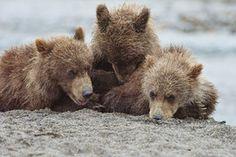 Brown bears, Katmai National Park and Preserve, USA