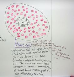 Connective Tissue: Mast Cell by Open.Michigan, via Flickr