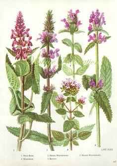 HERBS WILD BASIL Vintage Botanical Print Antique, plant print 147 botanical…