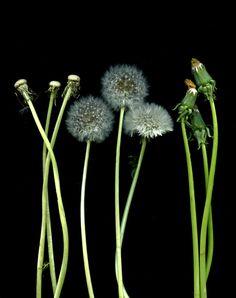 Explore horticultural art's photos on Flickr. horticultural art has uploaded 17092 photos to Flickr. Dandelion Art, Dandelion Wish, Dutch Still Life, Taraxacum Officinale, Background For Photography, Flower Photography, Paper Artwork, Plant Species, Black Paper